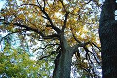 Vieux chêne avec un tronc puissant à un jour d'automne Bas point de tir image libre de droits