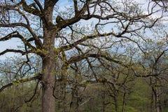 Vieux chêne branchu sans feuilles Images stock