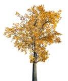 Vieux chêne d'or lumineux d'isolement sur le blanc Photos libres de droits