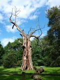 Vieux chêne dans Rogalin, Pologne Photos libres de droits
