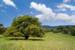 Vieux chêne de liège Photo stock