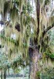 Vieux chêne drapé avec de la mousse espagnole verte Photographie stock libre de droits