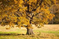 Vieux chêne embranché avec les feuilles jaunes à la lumière du soleil photographie stock libre de droits