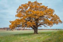 Vieux chêne inextricable dans des couleurs d'automne photographie stock