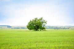 Vieux chêne isolé dans le domaine Arbre de la sagesse photos stock