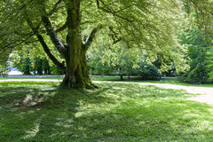 Vieux chêne moussu Photographie stock libre de droits