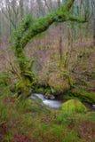 Vieux chêne près d'un courant Images libres de droits