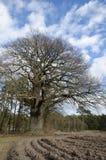 Vieux chêne puissant photographie stock