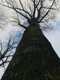 Vieux chêne qui a jeté des feuilles avec de la mousse verte et le ciel bleu Image stock