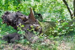 Vieux chêne tombé image stock