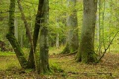 Vieux chênes et hornbeams Photo libre de droits