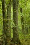 Vieux chênes et hornbeams Photos stock