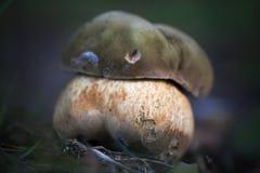 Vieux champignon laid Images libres de droits