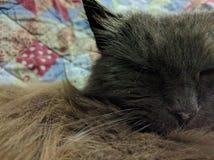 Vieux chat dur Photographie stock libre de droits