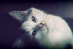 Vieux chat européen Image libre de droits