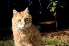 Vieux chat orange mâle Images libres de droits