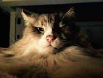 Vieux chat paresseux Photos libres de droits