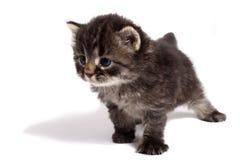 Vieux chaton de quatre semaines photographie stock libre de droits