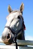 Vieux cheval de Kladruby derrière livre Photographie stock