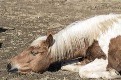 Vieux cheval se trouvant au sol image stock