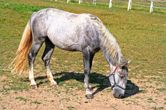 Vieux chevaux de Kladruby à l'extérieur à l'herbe Photo stock