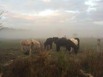 Vieux chevaux islandais dans le brouillard de matin sur le pré photo stock