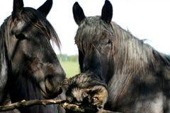 Vieux chevaux jouant un petit chat mignon de chaton à la ferme d'animaux Photos stock