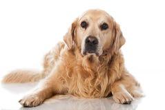 Vieux chien Image libre de droits