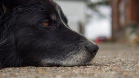 Vieux chien avec les yeux tristes Image libre de droits