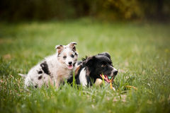Vieux chien border collie et jouer de chiot Image libre de droits