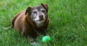 Vieux chien brun avec la boule verte se reposant - poils gris autour du museau banque de vidéos