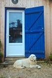 Vieux chien d'arrêt Photographie stock