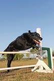 Vieux chien d'arrêt d'abrador dans l'agilité Image libre de droits