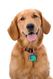 Vieux chien d'arrêt d'or de six mois sur le fond blanc photo libre de droits
