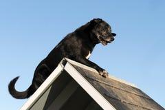 Vieux chien d'arrêt de Labrador dans l'agilité Photographie stock libre de droits