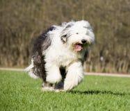 Vieux chien de berger anglais photo stock