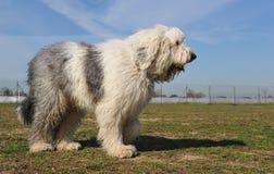 Vieux chien de berger anglais Images libres de droits