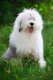 Vieux chien de berger anglais Photographie stock libre de droits