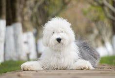 vieux chien de berger anglais de crabot photographie stock libre de droits