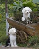 Vieux chien de berger anglais de crabot photo stock