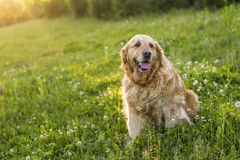 Vieux chien de golden retriever Photos stock