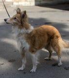 Vieux chien de sheltie de 12 ans Photo libre de droits