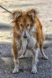 Vieux chien de sheltie de 12 ans Photographie stock