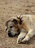 Vieux chien de shepperd Photographie stock libre de droits