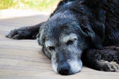 Vieux chien endormi sur un tapis Photo stock