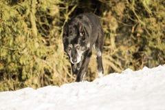 Vieux chien extérieur dans la neige Photos stock
