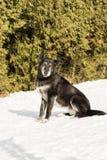 Vieux chien extérieur dans la neige Images stock
