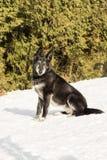 Vieux chien extérieur dans la neige Photos libres de droits