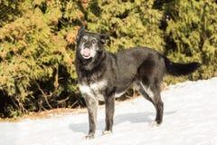 Vieux chien extérieur dans la neige Photo libre de droits