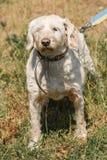 Vieux chien loyal sérieux sur une laisse en parc, chien pelucheux blanc Photo stock